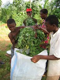 Harvesting the Moringa Leaves.