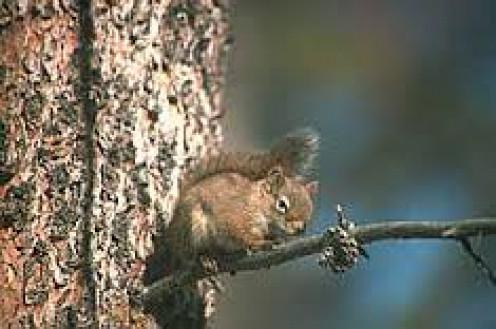 Squirrel seeking food.
