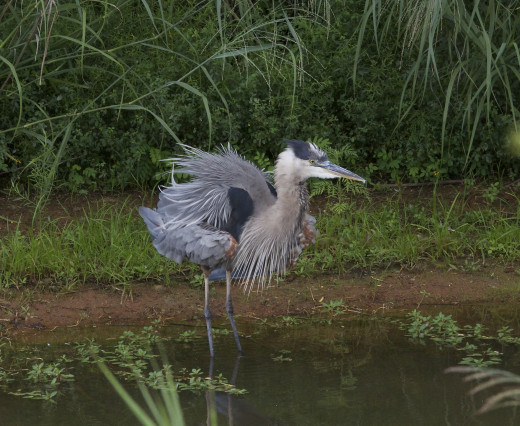 Great Blue Heron Asserts Authority