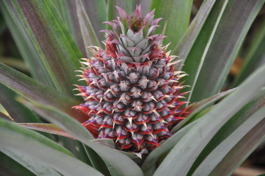 The beauty of pineapple flower