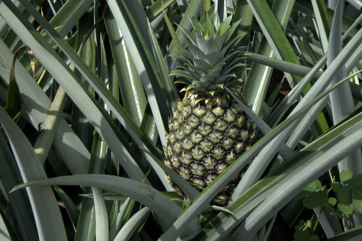 The pineapple plant