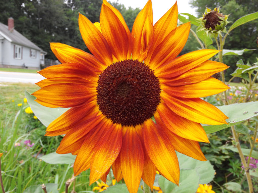 Pretty sunflower to look at :-)