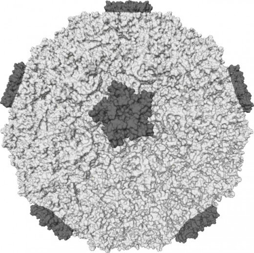 """Rhinovirus."" Licensed Under Creative Commons Attributic"