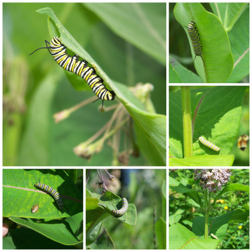 Caterpillars In The Meadow