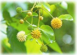 Medicinal Herbs-Kratom (Mitragyna speciosa)