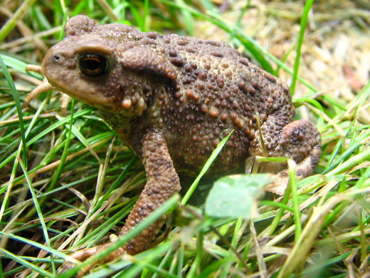 Toads are becoming increasingly common in parks and gardens, that have ponds where they can breed. Many natural ponds are now polluted or filled in.