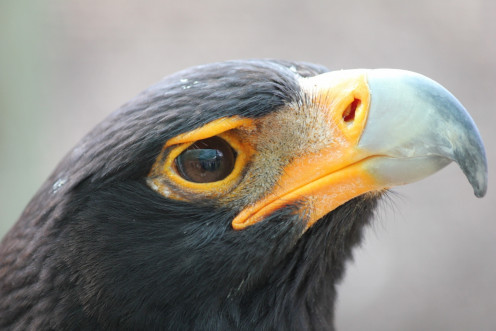 A Verraux's Eagle, also known as a Black Eagle.