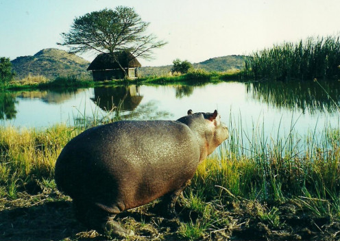 Tinkerbell's home, where she was soon joined by a young male from the hippo relocation project.