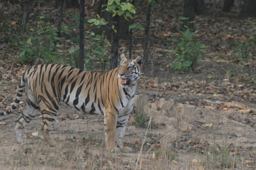 Tigress in the wild India