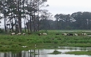 Wild ponies at the Chincoteague Wildlife Refuge on Assateaue Island, VA