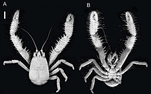 Kiwa puravida is a yeti crab with hairy legs. This animal is missing some of its limbs.