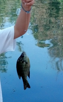 How to Catch Bluegill and Other Panfish in Southern California - Fishing in California