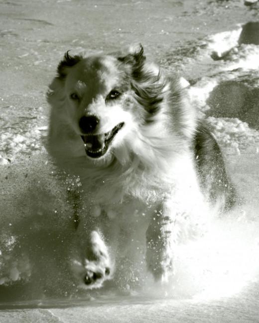 Austrailian shepherd dog running in the snow.