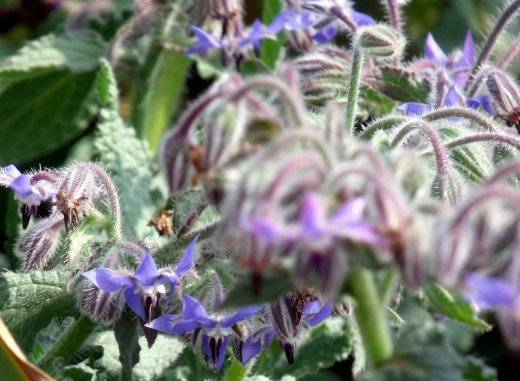 The delicate purple blue of the Borage flower is gorgeous in the garden.