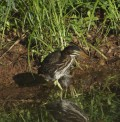 Control Grouping of  Green Heron Fledglings on Boomer Lake, Stillwater, Oklahoma 2014
