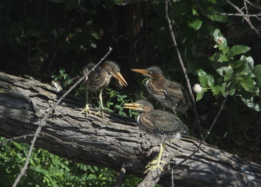First Three Green Heron Chicks That Fledged on 08-11-14