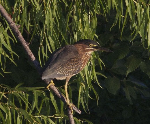 Green Heron Adult Observes from Tree