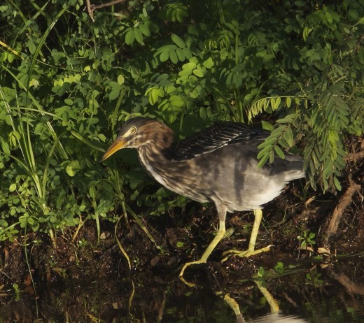 Young Green Heron Hunting