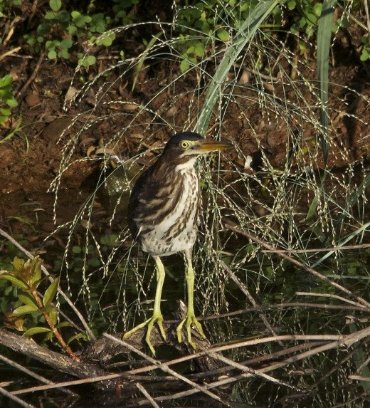 Green Heron Fledgling