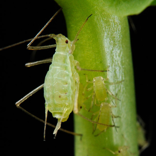 Aphids also known as plant lice suck the sap out of plants and cause huge damage to the plants by doing this.