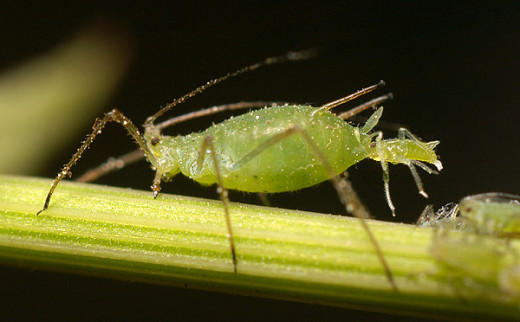 Aphid Giving Birth To  Live Aphids