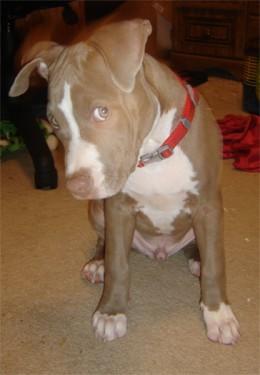 American Pit Bull Terrier.