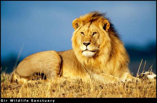 Indian Lion Photo
