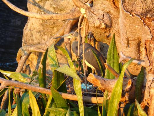 Mother heron on nest