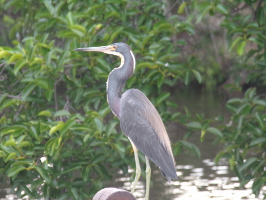 Tricolored heron resting on rock wall at water's edge
