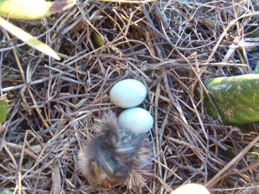 Two eggs left and hatchlings after four weeks