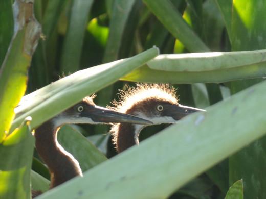 Juvenile birds at three weeks