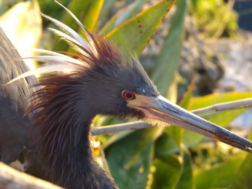 The Tricolored Heron... a beautiful and intriguing bird