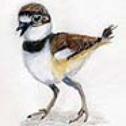 Shorebirdie profile image