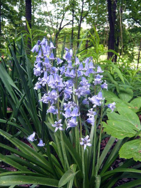Wood Hyacinth