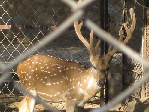 Barasinga, standing in Jaipur Zoo