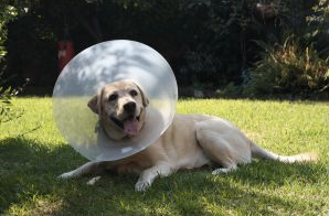 "Leave the cone on! The cone or ""lampshade"" collar that your pet has after surgery is essential for preventing him from biting or licking the incision."
