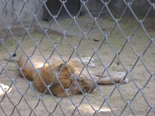 Lion Sleeping in Jaipur Zoo 2