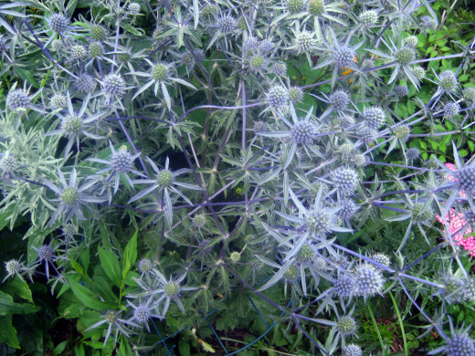 Eryngium or Sea Holly