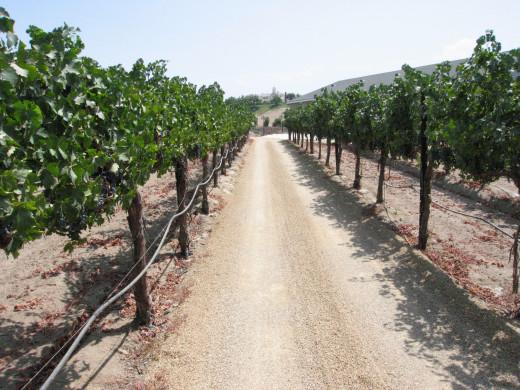 The vines....