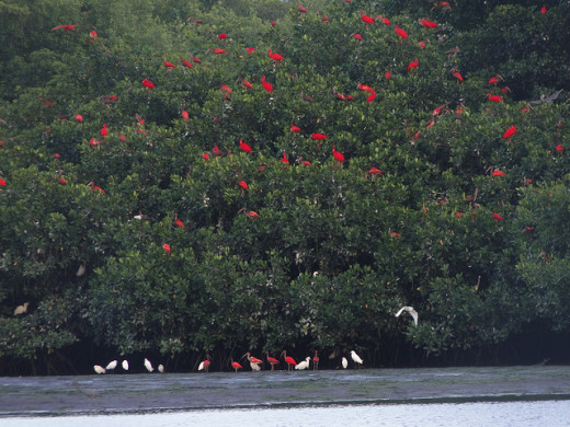 Scarlet Ibis birds in the sanctuary