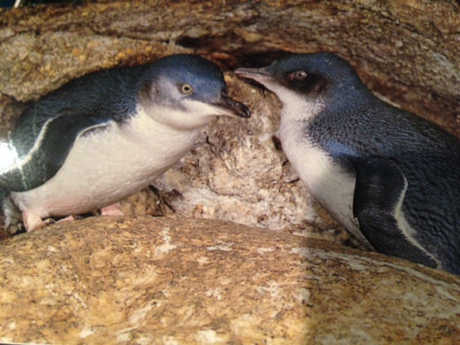 These are the cute Blue Penguins - only 30 cm tall.  They cluck so loud with their little chicks!!