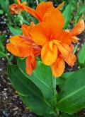 What's for dinner? Canna Lily