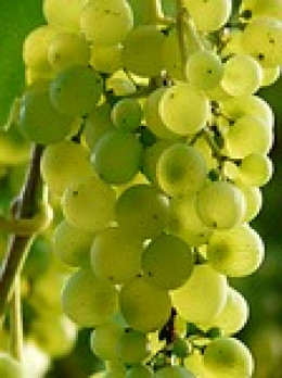 The wonderful uses and benefits of wine, the end  of the delicious grape