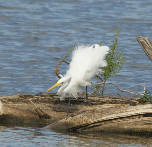 Molting Great Egret