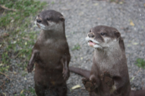 River Otters - Loved to look at us!