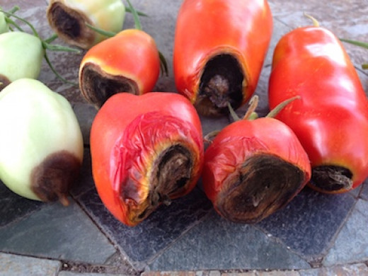 Your soil probably has adequate calcium. Remove them and there should be no problem with the next tomatoes.