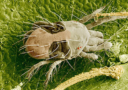Scanning electron image of a two-spotted spider mite feeding on a leaf.