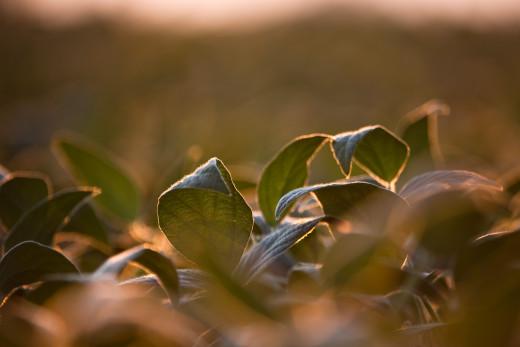 Soybean Crop Field at Dusk