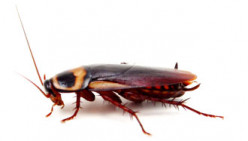 Best Methods of Killing Cockroaches Naturally