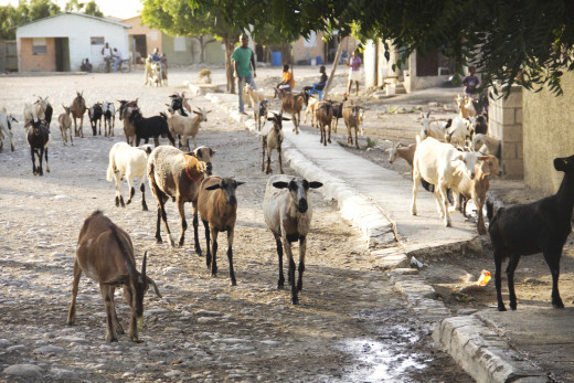 A herder walks a group of goats through the village.